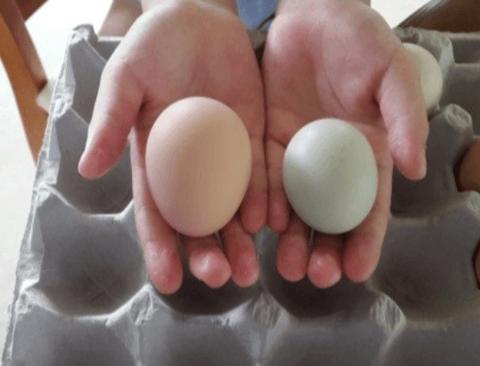 녹차가 사료일거 같은 달걀.jpg