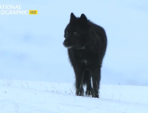 [스압] 떠돌이 검은 늑대의 가족 만들기