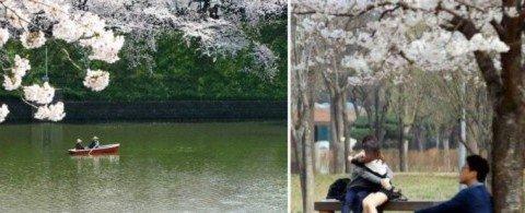 현지인만 안다는 진해 군항제 벚꽃 포인트 5 (+맛집/카페)