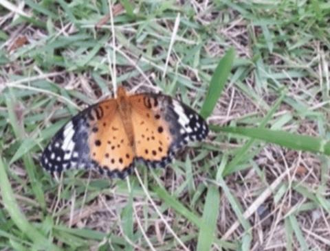 [스압]곤충갤에 올라온 부러진 나비 날개 수술기