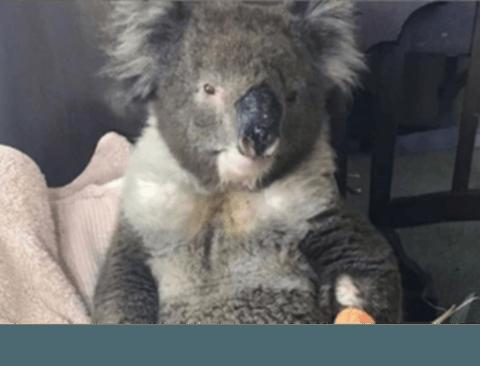 호주 산불에서 구출된 코알라 최신근황