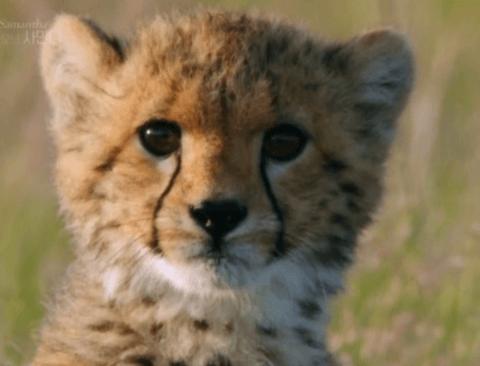 반전있는 육식동물 치타