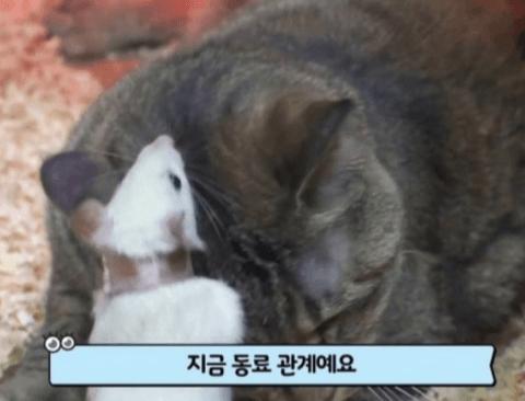 [스압] 똑똑한데 인싸력까지 갖춘 쥐