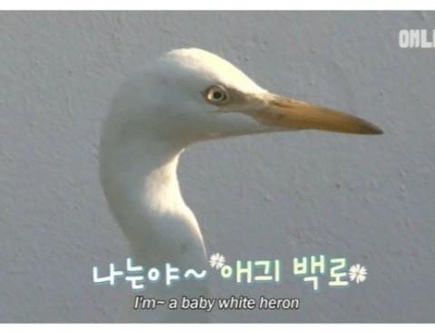 [스압] 도심 한복판에서 걸어다니는 아기 백로