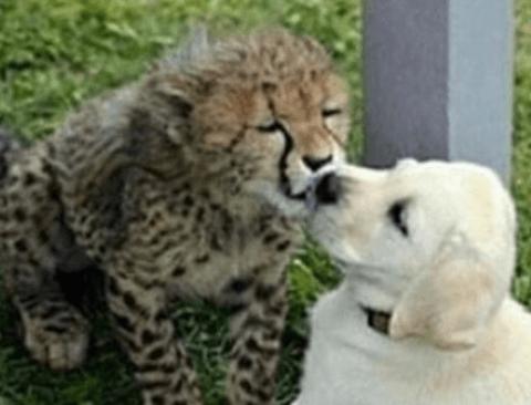 친구가 된 아기 치타와 골댕이