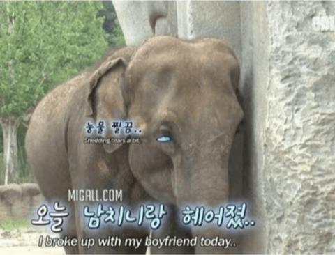 남친과 헤어져 눈물흘리는 코끼리