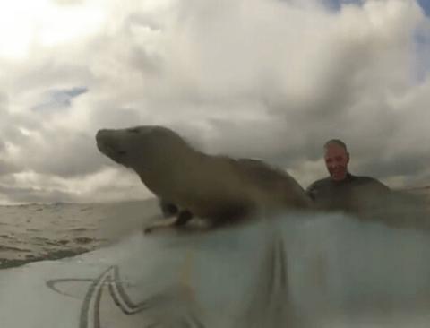 [스압] 서핑보드를 탐내는 새끼 바다표범