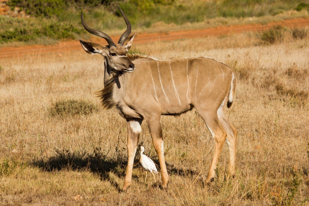 kudu_animal_world_south_africa_animal_wild_animal_large_kudu_nature_wild-1057694.jpg